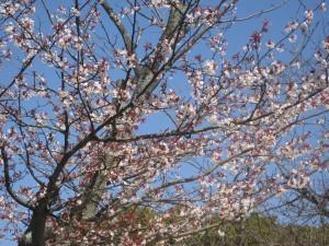 3月29日現在五分咲きの桜