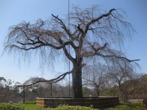 3月29日現在のしだれ桜