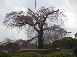 しだれ桜2012年4月5日現在