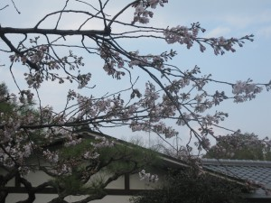 店前の桜2012年4月5日現在