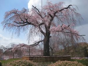 しだれ桜2012年4月7日現在