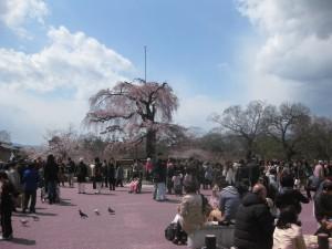 円山公園しだれ桜付近2012年4月7日
